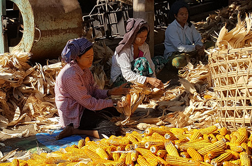 Monitoring kip- en maïsproductie in Myanmar