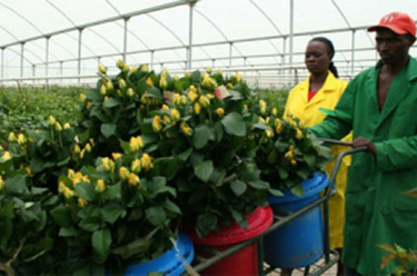Overtime in Africa Floriculture